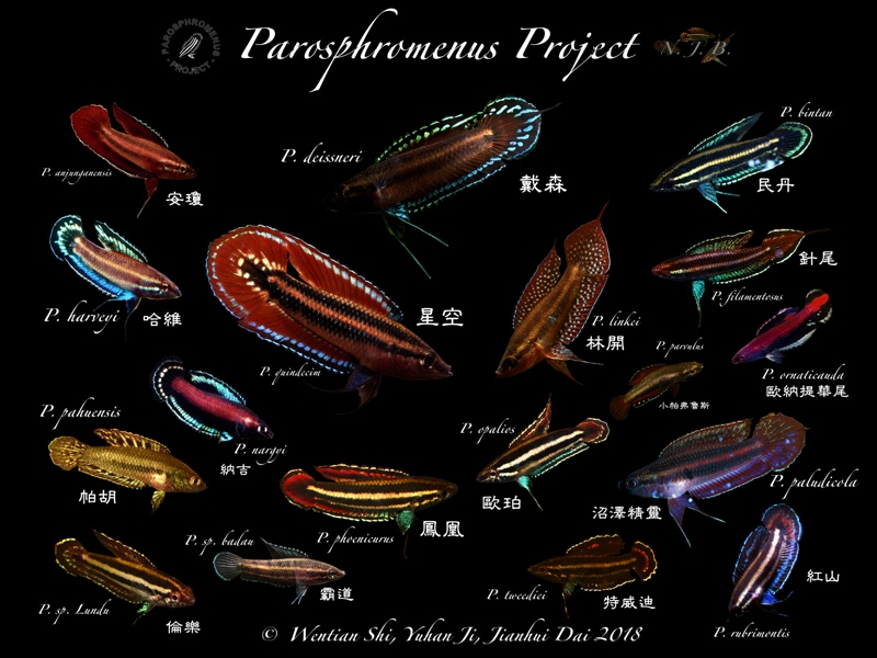 The Parosphromenus species photo copyright 2018 W. Shi